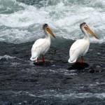 пеликаны в национальном парке