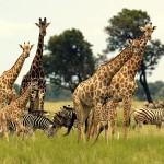 жирафы и зебры в национальном парке