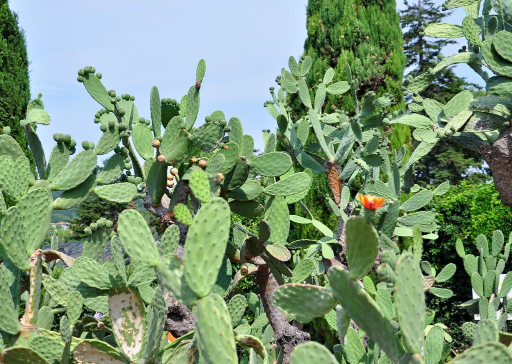 Гигантские кактусы рода опунций в ботаническом саду Балчика