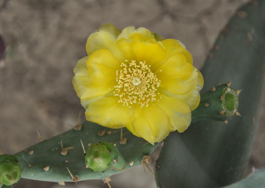 В оранжереях цветут кактусы